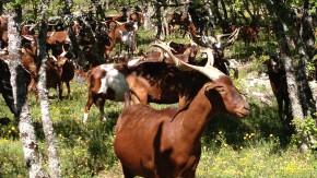 Rove goats thumbnail 3